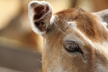 fallow deer: closeup of fallow deer hind, eye detail ( Dama, female )
