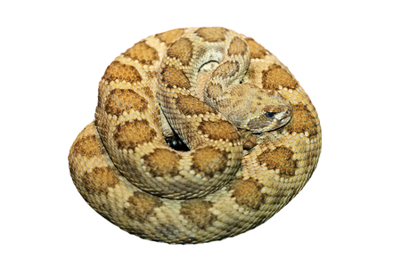 clotalus viridis ( prairie rattlesnake )  isolated over white background Banco de Imagens
