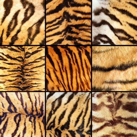 collection of tiger stripes, beautiful natural textuires of pelts photo