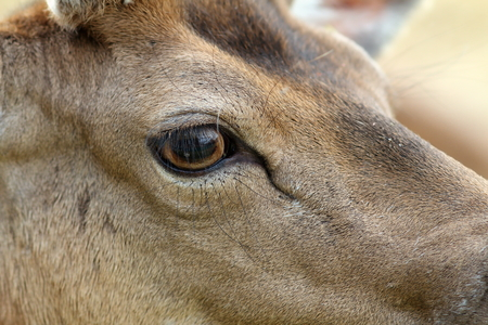 mammalia: detail on fallow deer buck eye ( Dama ) Stock Photo