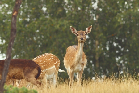 eyecontact: fallow deer ( Dama ) hind looking at camera while grazing on a glade