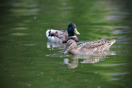 mallard duck couple ( Anas platyrhynchos ) swimming on pond photo