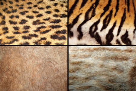 wild felines fur collection, real pelt textures of tiger, lion, ocelot and leopard photo