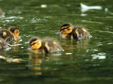 young ducklings swimming on water surface ( Anas platyrhynchos ) photo