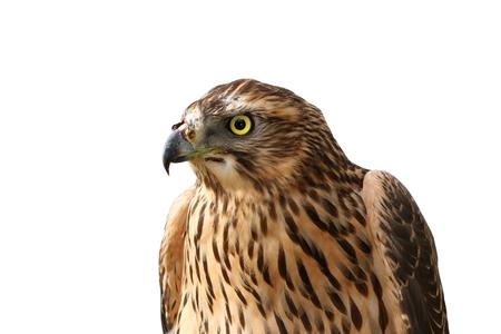 sparrowhawk: european sparrowhawk portrait over white ( Accipiter nisus ) Stock Photo