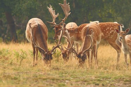 fallow deer males herd grazing on a glade( Dama ) photo