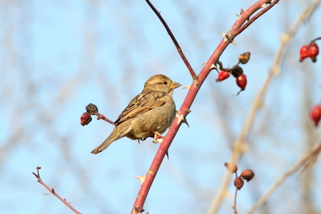 passer by: female house sparrow perched on twig ( Passer domesticus ) Stock Photo