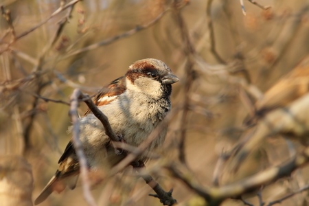 domesticus: male house sparrow ( Passer domesticus ) perched on a bush