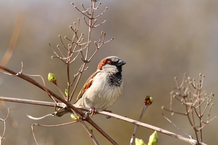 domesticus: male house sparrow on twig  ( Passer domesticus )