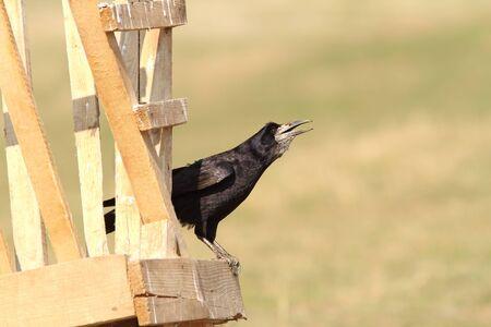 corvus: rook on wooden structure ( Corvus frugilegus ) Stock Photo