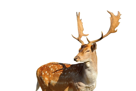 fallow deer: majestic fallow deer stag ( Dama ) isolated over white background