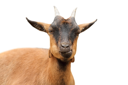 brown goat: closeup of brown goat looking at the camera, isolation over white background Stock Photo