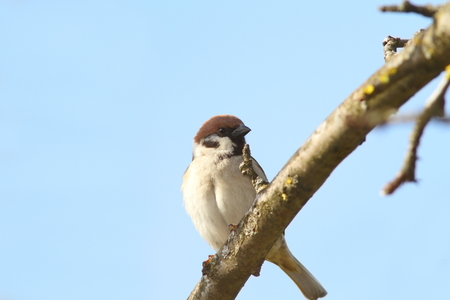 passer by: male sparrow close up perched on branch ( Passer domesticus )