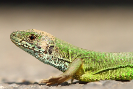 lacerta: beautiful green lizard portrait ( Lacerta viridis )