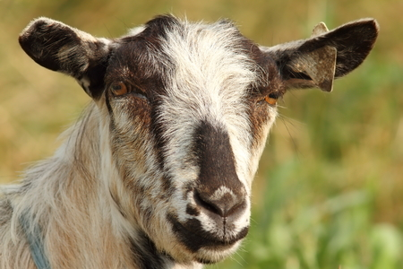 pygmy goat: portrait of striped goat looking towards camera over green background