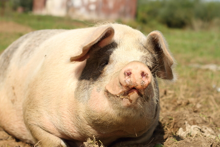 bacon portrait: portrait of lazy pink huge sow, image taken near the farm