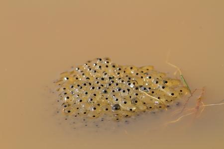 水、春に撮影した画像でヒキガエルの卵 写真素材