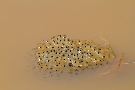 toad eggs in water, image taken in spring
