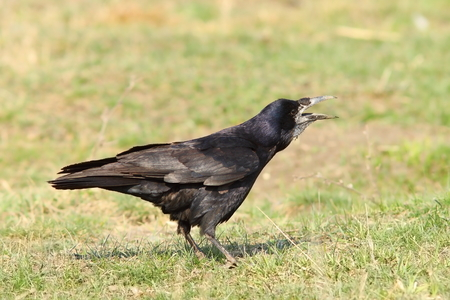 frugilegus: crow singing on lawn ( Corvus frugilegus )