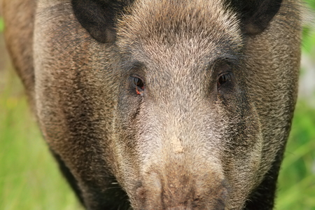 looking towards camera: wild boar portrait while looking at the camera ( Sus scrofa ) Stock Photo