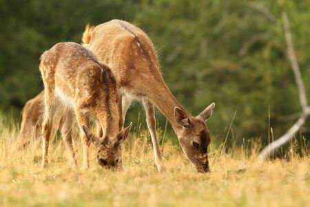 herd of deer: fallow deer herd grazing in a clearing ( Dama ) Stock Photo