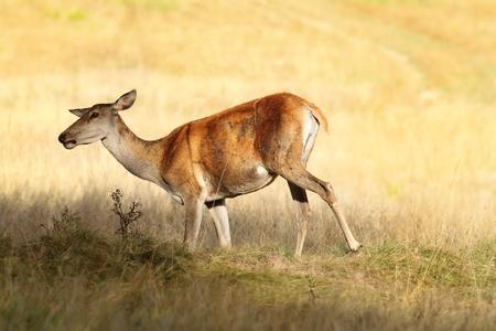 elaphus: red deer female on meadow ( Cervus elaphus )