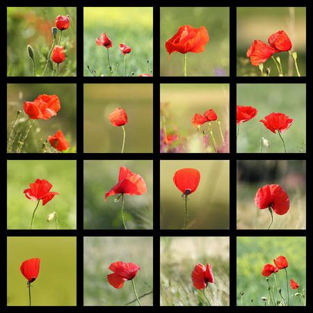papaver rhoeas: collection of images with wild poppies ( Papaver rhoeas ) Stock Photo