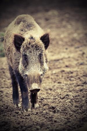 scrofa: big wild boar looking at camera ( Sus scrofa )