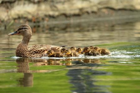 청둥 오리 가족, 연못에서 수영하는 오리 어머니 (아나 스 platyrhynchos) 스톡 콘텐츠 - 47692050