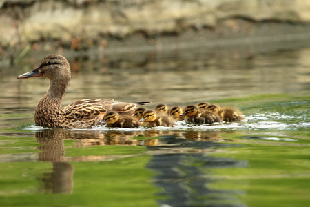 yellow duck: mallard ducks family, mother with ducklings swimming on pond ( Anas platyrhynchos ) Stock Photo