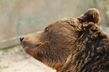 arctos: european brown bear closeup ( Ursus arctos )