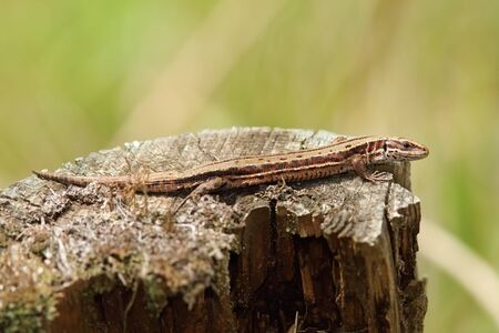 viviparous: viviparous lizard basking on tree trunk ( Zootoca vivipara )