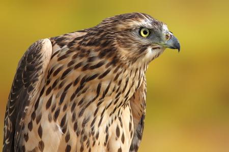sparrowhawk: Accipiter nisus portrait over out of focus background,  eurasian sparrowhawk
