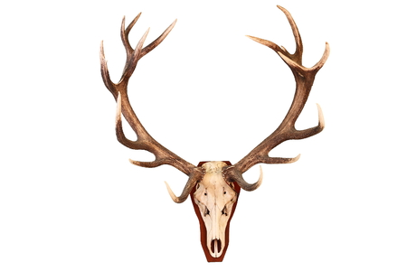 venado: impresionante ciervo trofeo de caza aislada sobre fondo blanco (Cervus elaphus)