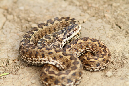 endangered species: hungarian meadow adder ready to strike ( Vipera ursinii rakosiensis ), endangered species from IUCN red list