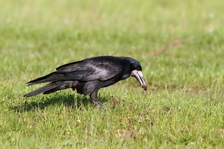 crow: rook foraging for food on green lawn ( Corvus flugilegus ) Stock Photo