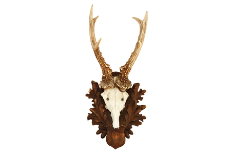 capreolus: capreolus (roe deer) roebuck hunting trophy isolated over white background