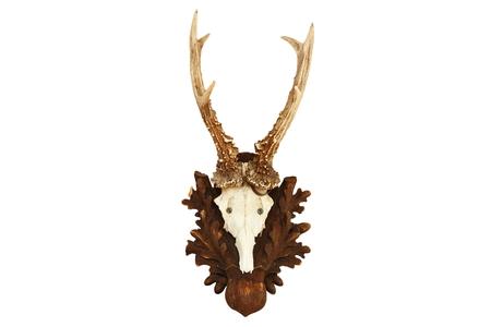 roebuck: capreolus (roe deer) roebuck hunting trophy isolated over white background