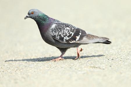공원 골목, 전체 길이 걷고 야생 비둘기 (비둘기 livia)
