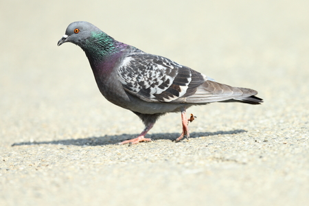feral pigeon ( Columba livia ) walking on park alley, full length