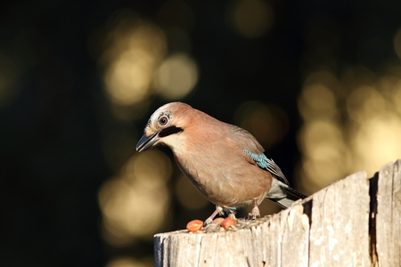 cuervo: european jay on a stump with seeds as lure ( Garrulus glandarius ) Foto de archivo