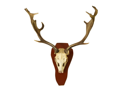 full length herbivore: fallow deer hunting trophy isolated on white background, full length ( Dama )