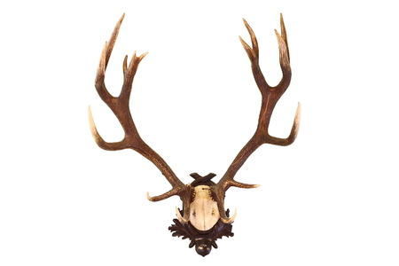 full length herbivore: red deer buck isolated hunting trophy, beautiful animal ( Cervus elaphus )