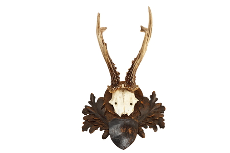 capreolus: beautiful roebuck hunting trophy isolated over white background, full length ( Capreolus )