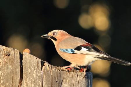 ornitology: european jay at feeder ( Garrulus glandarius ) Stock Photo
