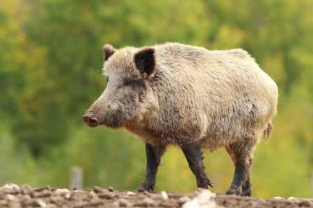 scrofa: big wild boar in a glade ( Sus scrofa ), full length