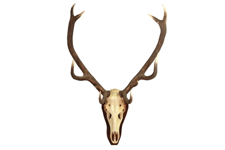 elaphus: Cervus elaphus hunting trophy isolated over white background