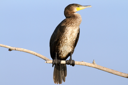 carbo: great cormorant perched on branch over blue sky ( Phalacrocorax carbo )
