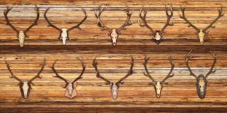 elaphus: collection of red deer trophies on wood background ( Cervus elaphus ) Stock Photo