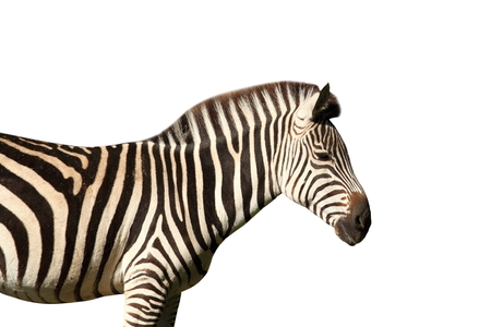 head shots: profile view of a zebra isolated over white background Stock Photo